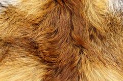 狐皮特写镜头颜色橙色动物背景 免版税库存照片