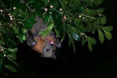 狐蝠属poliocephalus -白发果蝠夜,远离天站点的飞行 库存图片