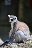 狐猴动物园Hellabrunn萨尔茨堡 免版税库存照片