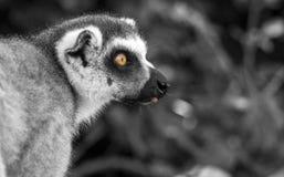 狐猴在动物园里 免版税库存图片