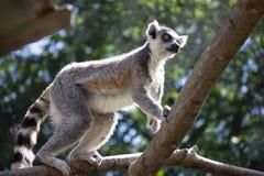 狐猴在动物园里 免版税库存照片
