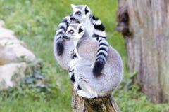 狐猴夫妇 免版税库存图片