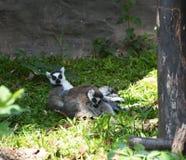 狐猴家庭 库存图片