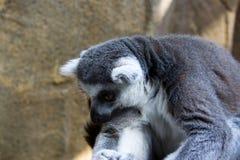 狐猴的画象 免版税库存照片