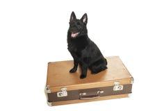 狐头竖耳无尾短毛小黑犬在演播室 免版税库存图片