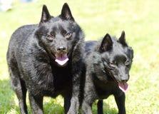 狐头竖耳无尾短毛小黑犬 免版税图库摄影