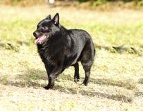狐头竖耳无尾短毛小黑犬 免版税库存图片