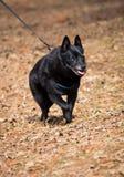 狐头竖耳无尾短毛小黑犬 图库摄影