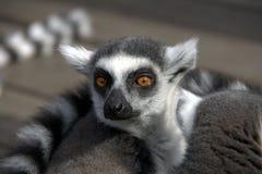 狐猴纵向 免版税库存图片
