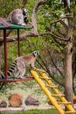 狐猴catta 免版税图库摄影