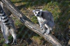 狐猴Kata在动物园5里 图库摄影