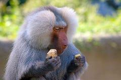 狒狒吃 库存照片