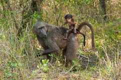 狒狒和她的崽 免版税库存照片