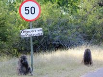 狒狒喜剧 免版税库存照片