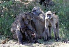 狒狒在南非 免版税库存图片