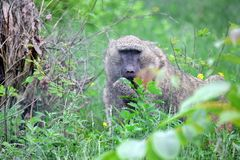狒狒在自然的猴子狒狒阿努比斯 免版税库存照片