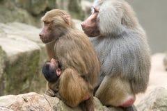 狒狒女性橄榄色年轻人 库存照片