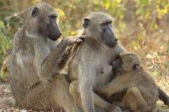 狒狒女性橄榄色年轻人 图库摄影