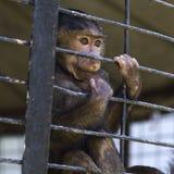 狒狒婴孩笼中 免版税库存照片
