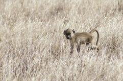 狒狒婴孩 免版税库存图片