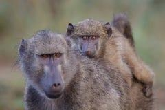 狒狒婴孩 库存图片