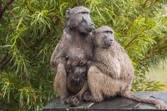 狒狒家庭在雨中 免版税库存照片