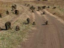 狒狒家庭  免版税库存照片