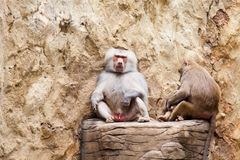 狒狒家庭hamadryas狒狒 库存照片