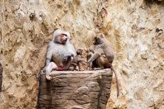 狒狒家庭hamadryas狒狒 免版税库存照片