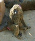 狒狒开会 免版税库存照片