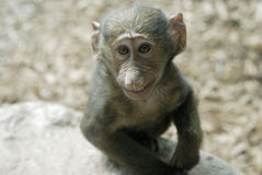 狒狒橄榄微笑 免版税图库摄影