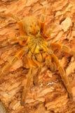 狒狒橙色塔兰图拉毒蛛usambara 库存图片