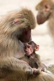 狒狒看护 免版税图库摄影