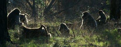 狒狒系列 库存图片