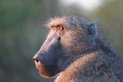 狒狒老战士 免版税库存照片