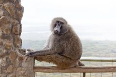 狒狒肯尼亚 免版税库存图片