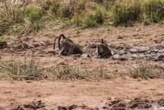狒狒饮用水 免版税库存图片