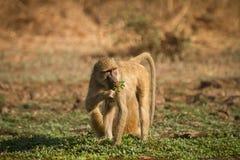 狒狒黄色 库存图片
