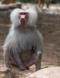 狒狒猴子自然画象  免版税图库摄影