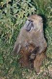 狒狒婴孩喂养她的母亲 免版税库存图片
