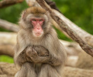 狒狒画象 免版税库存图片