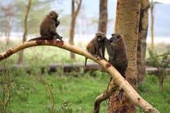 狒狒 免版税库存图片