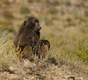 狒狒 免版税图库摄影