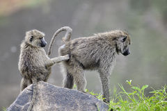 狒狒 图库摄影