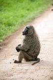 狒狒 免版税库存照片