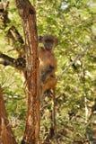 狒狒chacma狒狒ursinus 库存图片