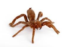 狒狒citharischius crawshayi国王塔兰图拉毒蛛 免版税库存图片