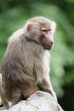 狒狒hamadryas狒狒 免版税图库摄影