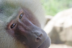 狒狒hamadryas 免版税库存照片