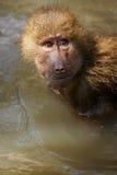 狒狒hamadryas 图库摄影